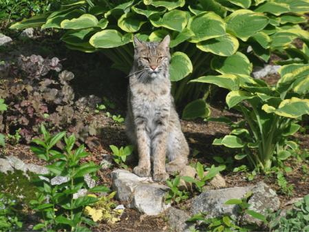 Bold Bobcat Roams Near Northampton School