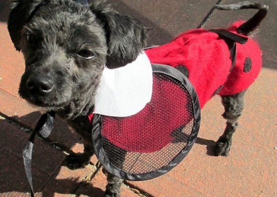 Abused Poodle Happy In New Home