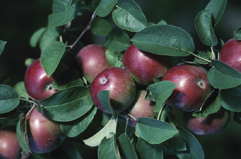 Ashfield Apple Farmer Badly Hurt